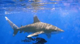 requin : sa dent flotte dans l'air