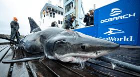 Vimy requin