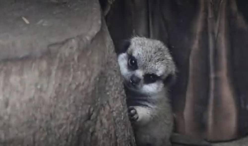 La photo de ce bébé suricate tout timide va vous faire craquer !
