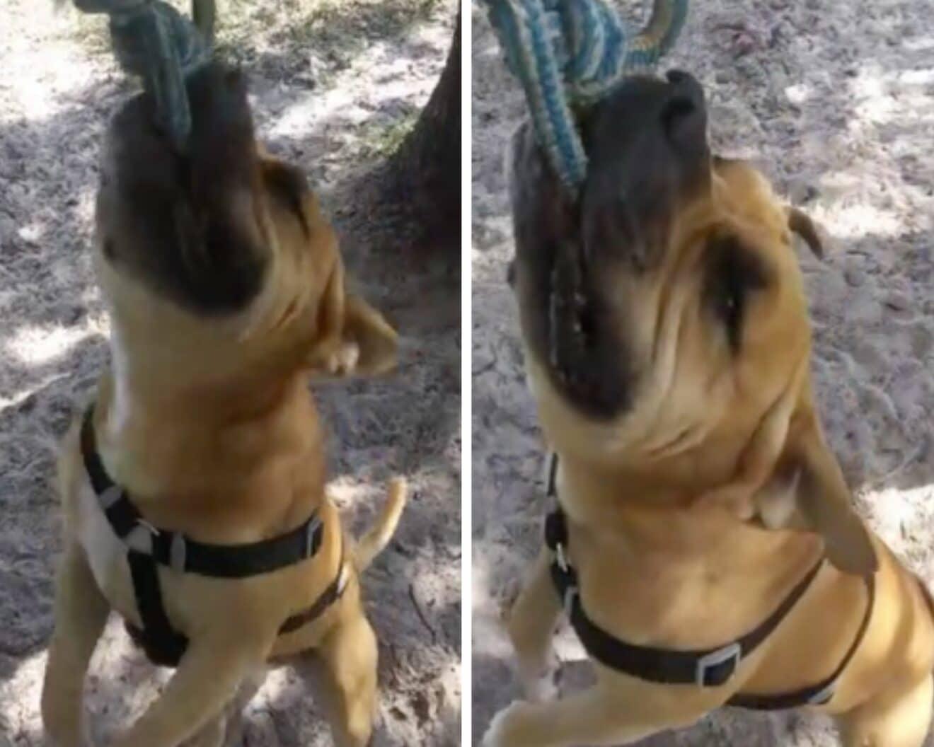 Le bruit que fait ce chien en jouant avec son maître est à mourir de rire ! (vidéo)