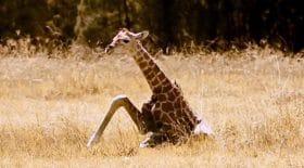 Girafon abandonné