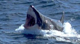 Un kayakiste se fait attaquer par un requin blanc