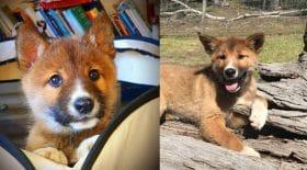 Wandi le dingo présumé chiot