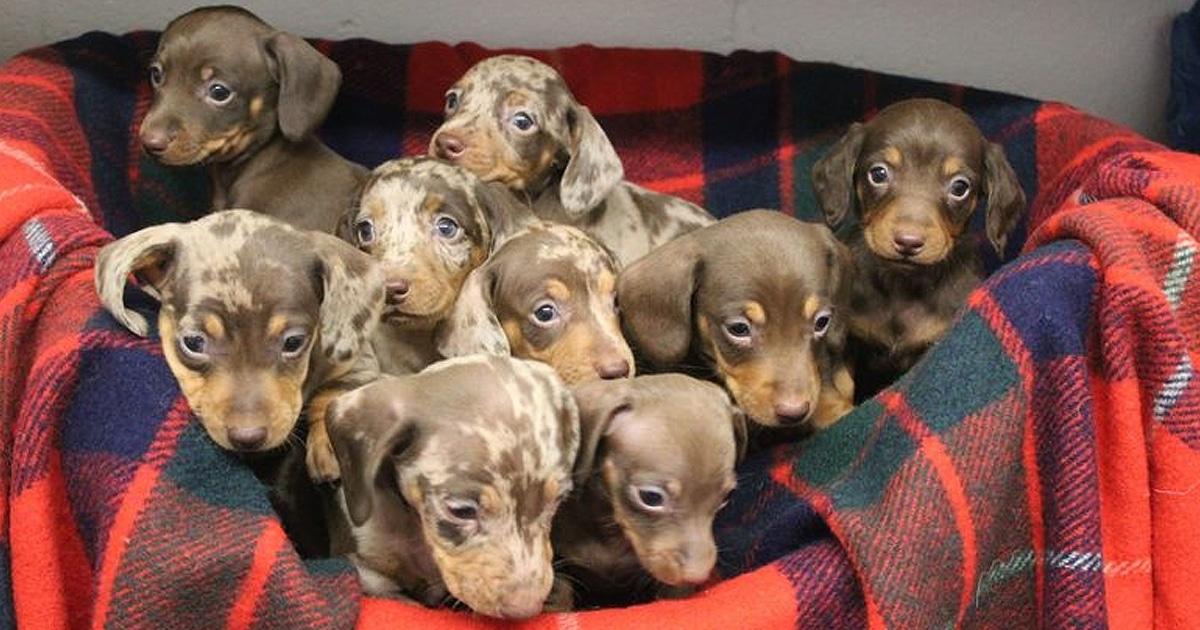 Vous pouvez adopter neuf chiots qui ont été nommés comme les rennes du Père Noël (Vidéo)