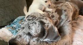 deux chiens lient une amitié extraordinaire