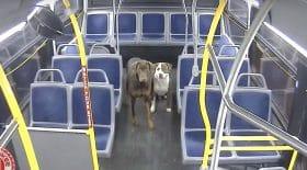 deux chiens sont recueillis par une chauffeuse de bus
