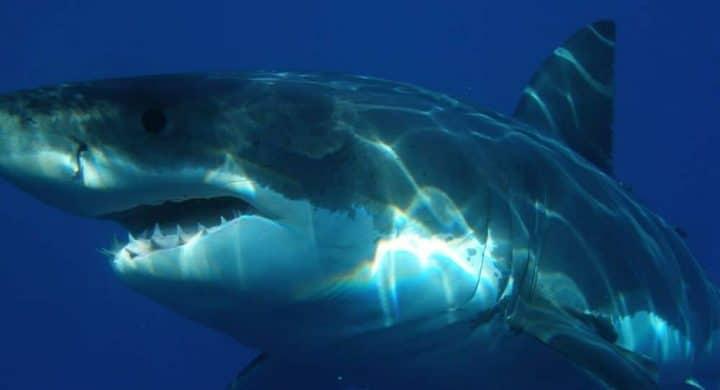 Un requin trouve la mort en voulant entrer dans une cage de plongeurs (Vidéo)