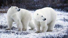 ours blanc peint