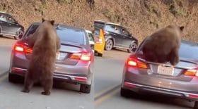 ours qui monte sur une voiture