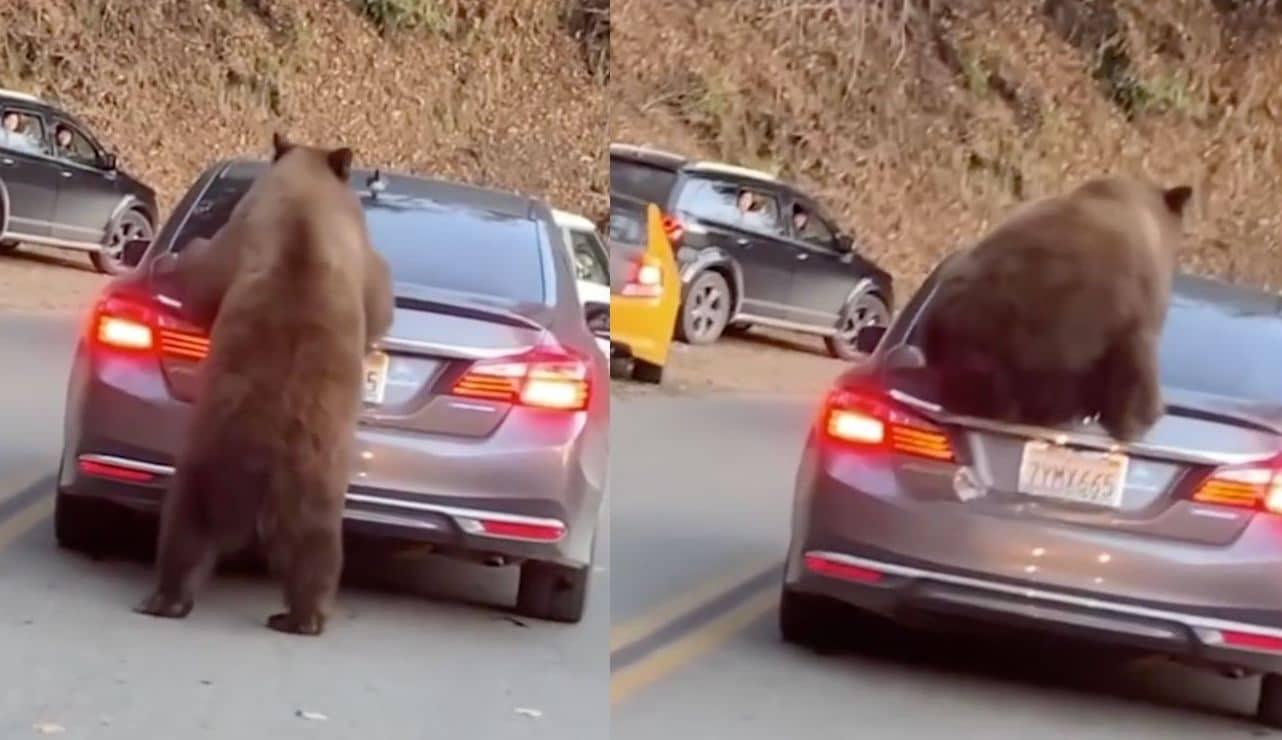 Cet ours décide de monter sur une voiture, il va avoir une sacrée frayeur (Vidéo)