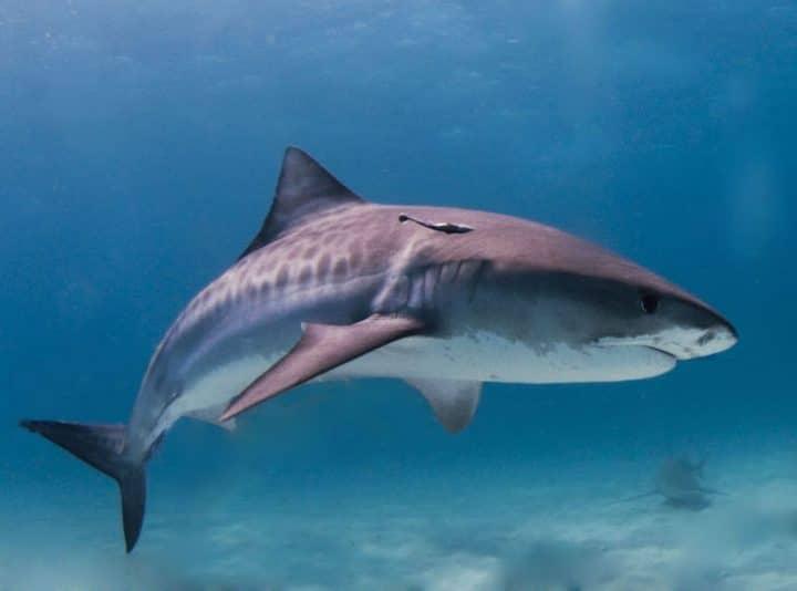 requin tigre deux bras retrouvés ile réunion