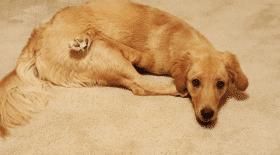 Une chienne née avec une malformation aux pattes
