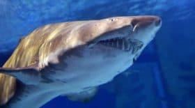 Un surfeur grièvement blessé par un requin