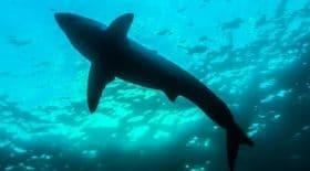 Un homme tué par une attaque de requin