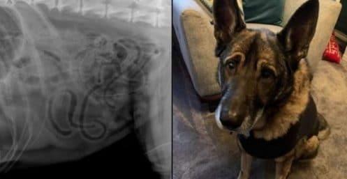 ce-berger-allemand-passe-une-radio-et-la-veterinaire-fait-une-decouverte-choc