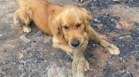 chien retrouve son jouet après l'incendie qui a ravagé sa maison
