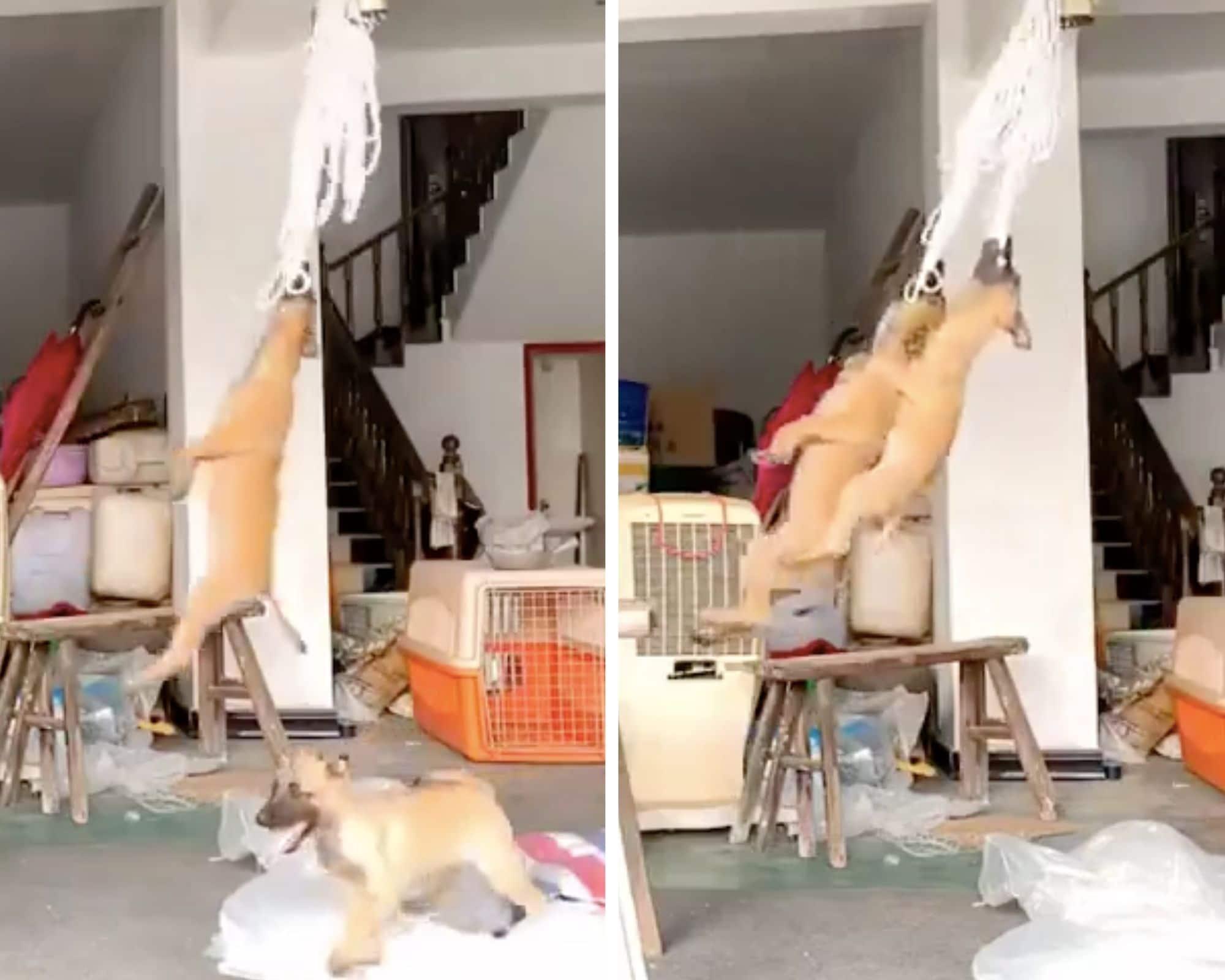 Ces chiens adorent ce jouet et se prennent pour Tarzan ! (vidéo)