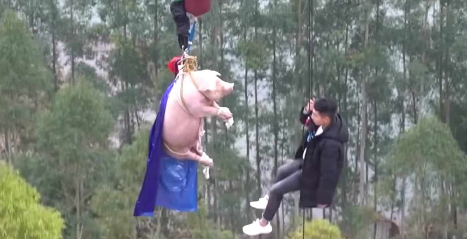 Polémique : ce cochon attaché pour faire un saut à l'élastique scandalise (Vidéo)