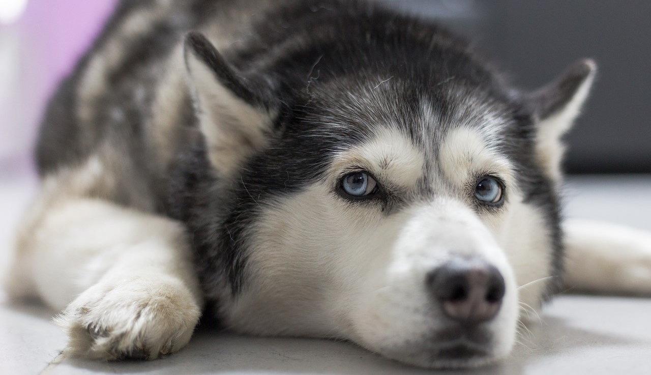 Ce husky ne trouvait pas de maison à cause d'un problème physique, jusqu'au jour où… (Vidéo)