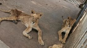 images-choc-affames-ces-lions-sont-en-train-de-mourir-dans-un-parc-animalier-du-soudan