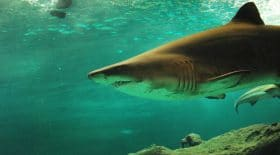 requin drone