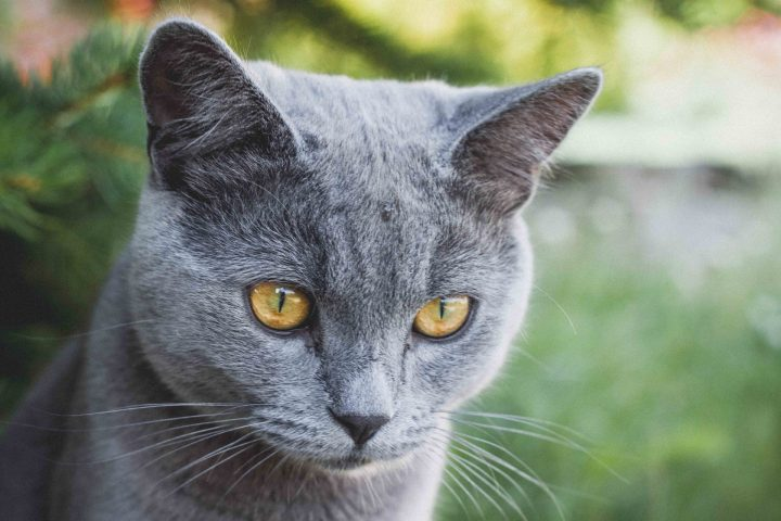 Un chat inscrit aux Municipales 2020 à Rennes
