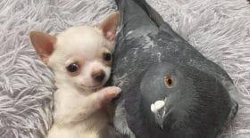 pigeon chiot