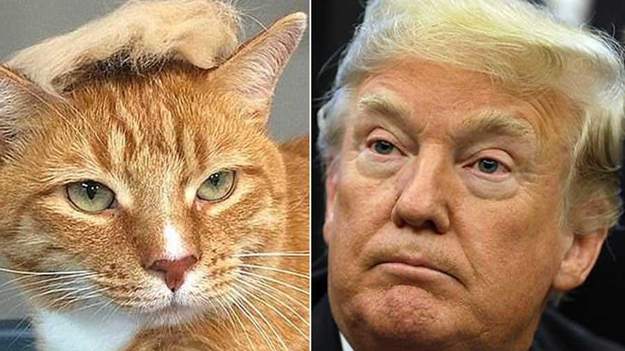 Pour passer le temps, ils transforment leurs chats en sosies de Donald Trump