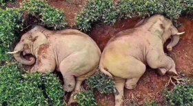 Des éléphants retrouvés ivres dans une plantation de thé