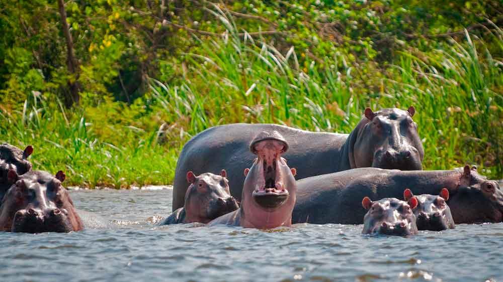 Les hippos d'Escobar, devenus sauvages, remplacent des animaux préhistoriques disparus en Colombie