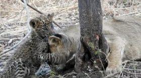 maman-lion-adopte-bebe-leopard