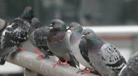 pigeons avion