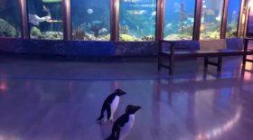 pingouins aquarium