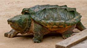 alpes-maritimes et tortue alligator