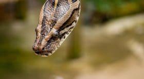 Coronavirus, des masques en peau de reptiles