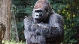 Les gorilles chantent