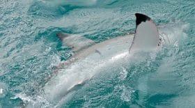grand requin blanc italie bateau