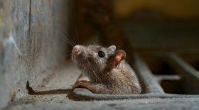 hong kong hépatite rats
