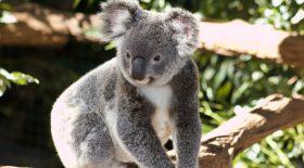 Koala, une naissance en Australie