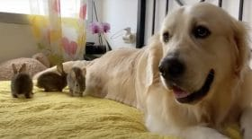chien golden retriever adopter lapins
