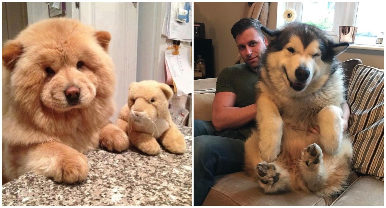 Ces chiens ressemblent à des peluches ! Instant trop mignon !