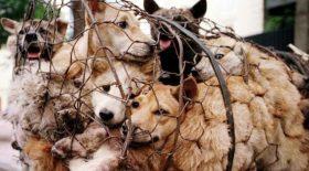 des chiens retenus dans une cage
