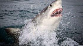 requin surfeur tué Australie