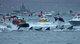 la chasse aux dauphins des îles Féroé révolte les ONG