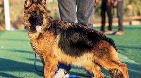 chien positif coronavirus décédé