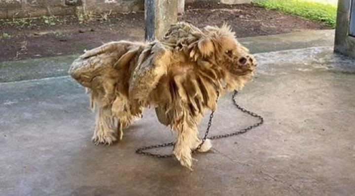 choc-la-spa-un-chien-couvert-de-dreadlocks-le-proprietaire-donne-une-raison-hallucinante