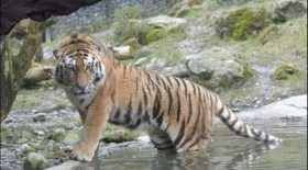 femme décédée attaquée tigre