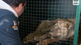 4 lionnes retrouvées dans un piteux état dans l'Eure