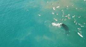 Des baleines australes s'approchent très près d'une bande de surfeurs