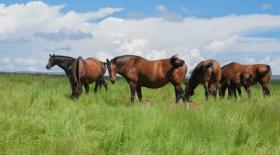 Depuis plusieurs mois en France, des dizaines de chevaux sont retrouvés tués et mutilés